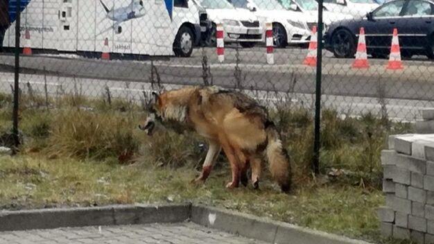 Ekopatrol pojechał do rannego psa. Na miejscu strażnicy zastali wilka