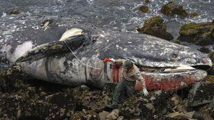 70 martwych waleni. Zwłoki w niepokojącym stanie. Rządowi biolodzy wszczęli śledztwo