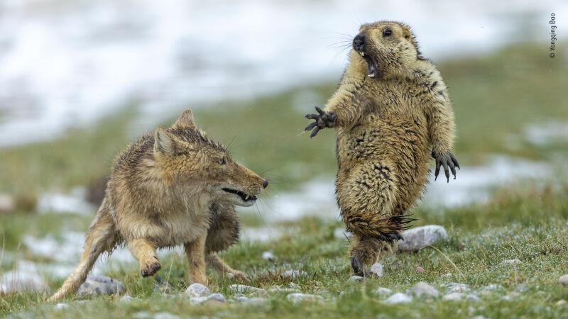 """Zwycięska fotografia konkursu """"Wildlife Photographer of the Year"""""""