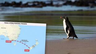 To była długa podróż. Odważny pingwin przepłynął 2,5 tysiąca kilometrów