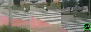 Niby bocian, a zasady ruchu drogowego respektuje. Nietypowy pieszy na pasach w Lesznie