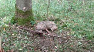 Leśnicy z Bartoszyc uratowali wilka. Zwierzę bezpiecznie wróciło do lasu