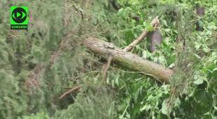 Wiatr przewrócił świerk w Toruniu